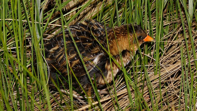 Photo of a Yellow Rail