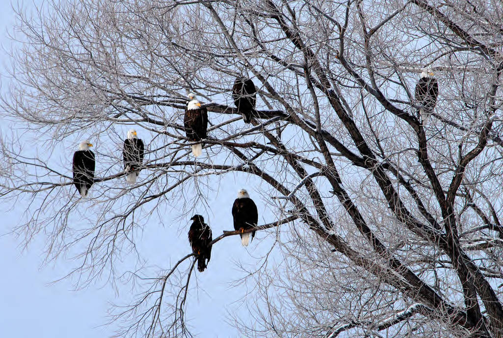A convocation of Bald Eagles in a tree. Photo Courtesy USFWS